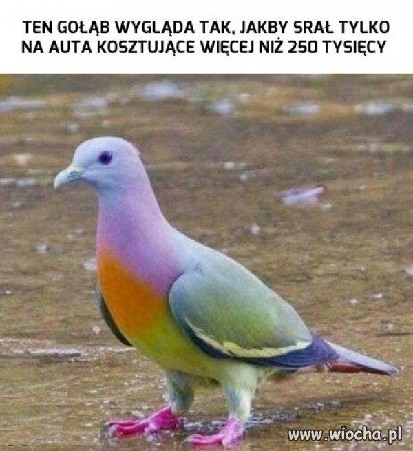 Wyzsza-klasa-golebia