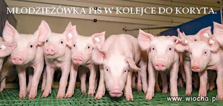 Swinia-plus-nowy-program-PiS