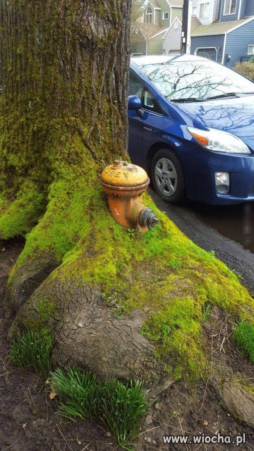Hydrant-pochloniety-przez-drzewo