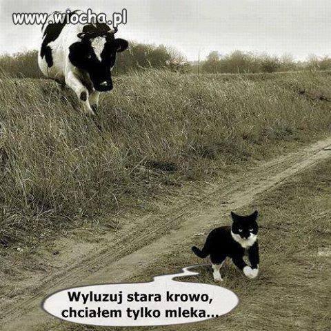 Stara krowa