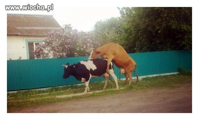 Lewackie krowy