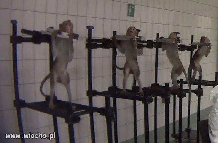 Malpy-krzyczace-z-bolu-w-niemieckim-laboratorium