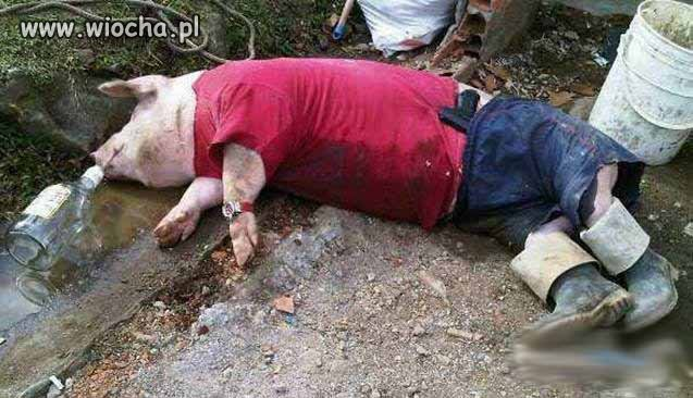 To-sie-swinia-najela