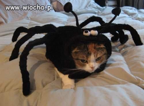 Spider kot